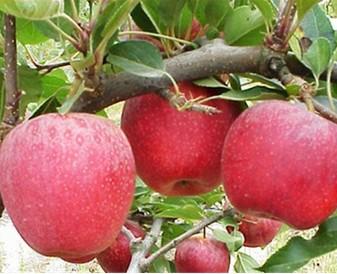 Ferias na costa de prata com maçã de alcobaça
